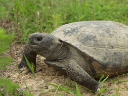 The gopher tortoise is an endangered reptile and is often considered the keystone species of the longleaf pine ecosystem.