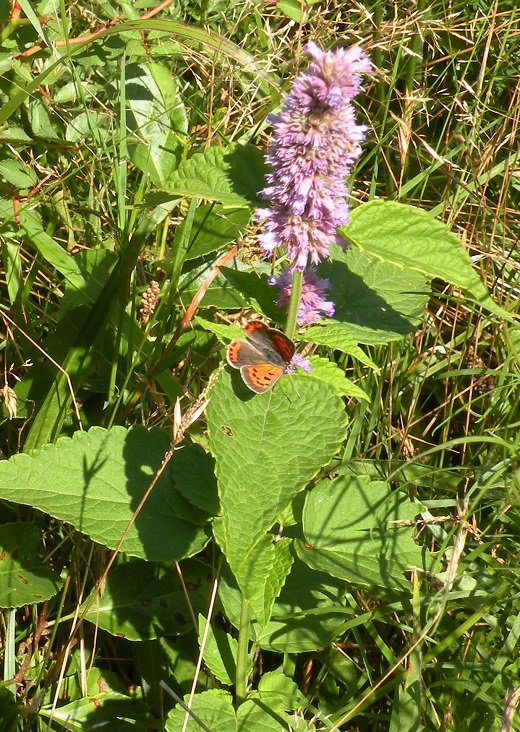 An American copper butterfly gathers nectar from anise hyssop.