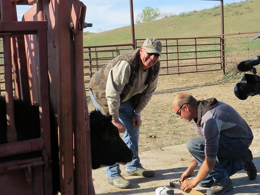 Ed Koger (standing) and researcher Jonathan Lautenbach prepare to radio-collar a heifer as part of a study of how cattle and prairie chickens use recently burned grasslands.