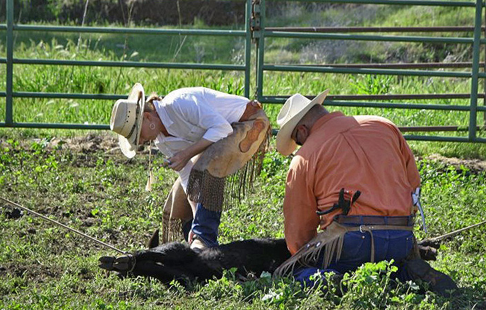 Mike and Kathy Landini, shown here vaccinating a calf, went from building custom homes to first generation ranchers and award-winning conservationists.