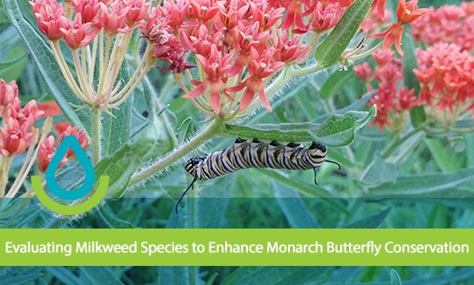 Evaluating Milkweed Species to Enhance Monarch Butterfly Conservation