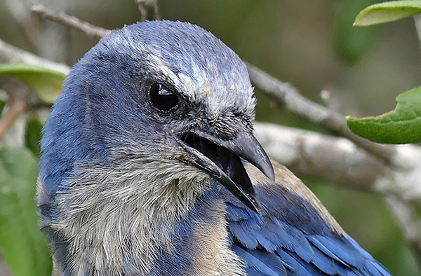 In the 1920s, roughly 100,000 scrub-jays were counted in Florida. A 1992 Archbold Biological Station census counted 10,000 and in 2011 another count saw a population reduction to 6,000 according to Ralph Risch, a biologist specializing in the species for the Florida Forest Service.