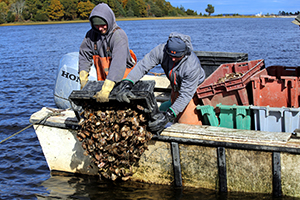 Dumping oysters as part of an oyster restoration project.