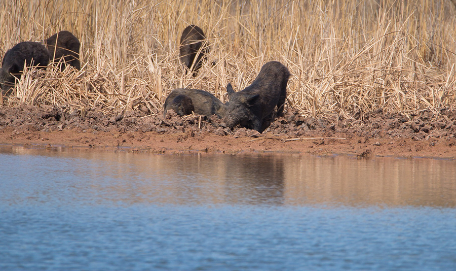 The Feral Swine Eradication and Control Pilot Program (FSCP) was established by the 2018 Farm Bill to respond to the threat feral swine pose to agriculture, native ecosystems, and human and animal health.