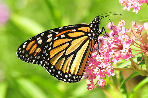 A monarch butterfly gathers nectar from a milkweed flower. NRCS helps agricultural producers plant Milkweed on farms, ranches and working forests to help the monarch and other species. USFWS photo.