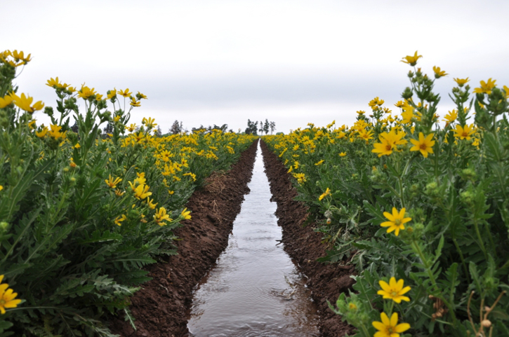 Irrigation water flowing in production field of Engelmann's Daisy