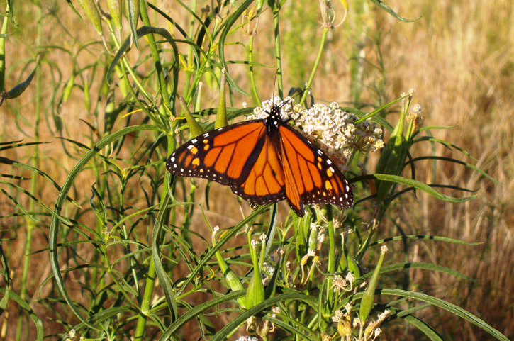 Monarch butterfly on narrow-leaved milkweed