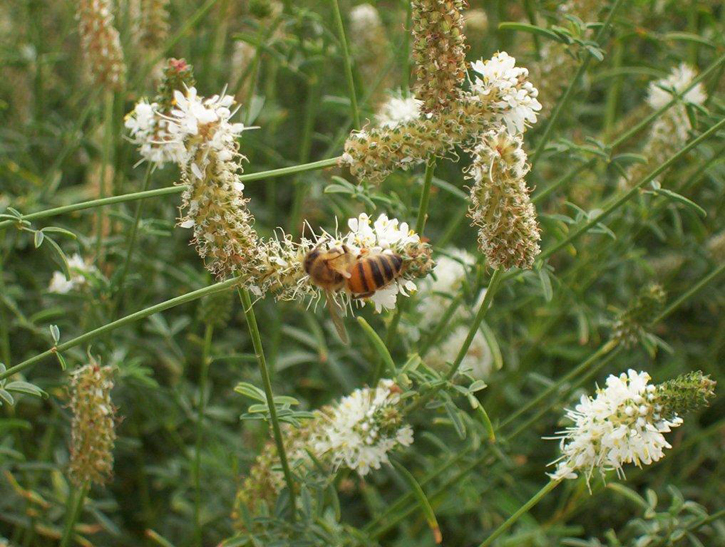 A honey bee on slender white prairie clover.