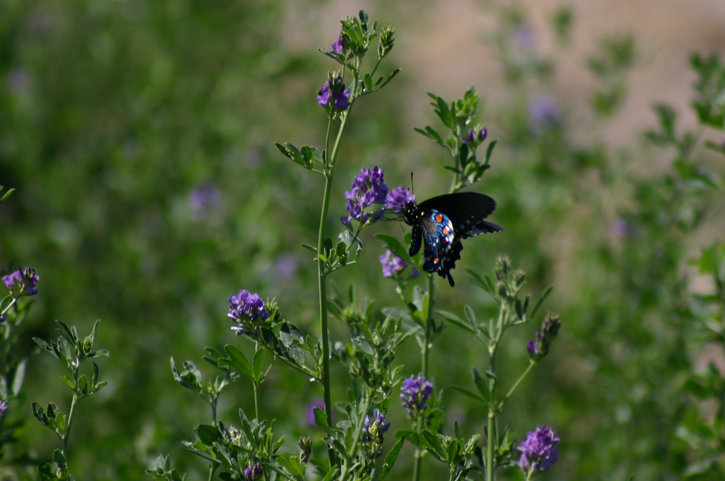Alfalfa and Swallow Tail Butterfly