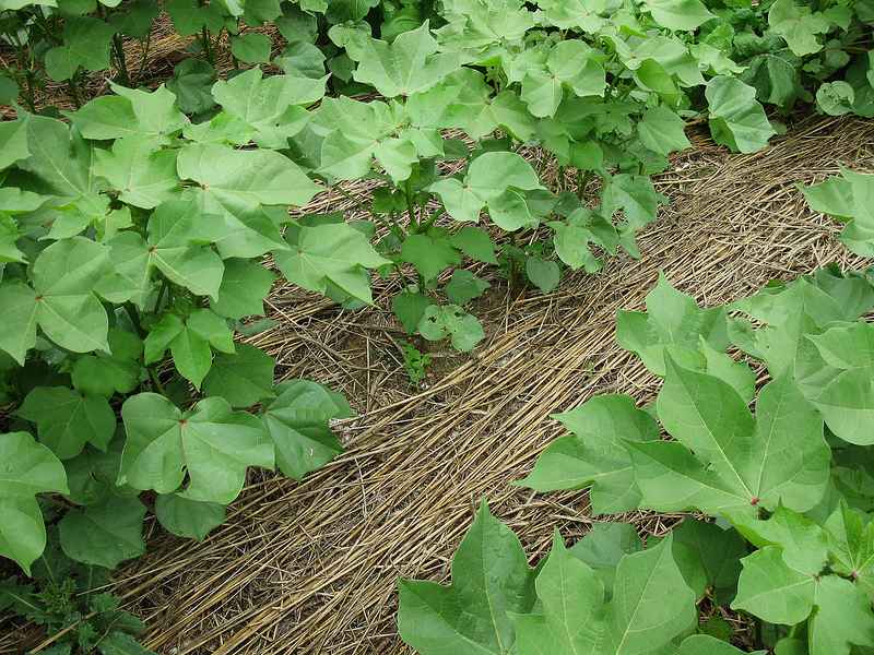 Cover Crops 1
