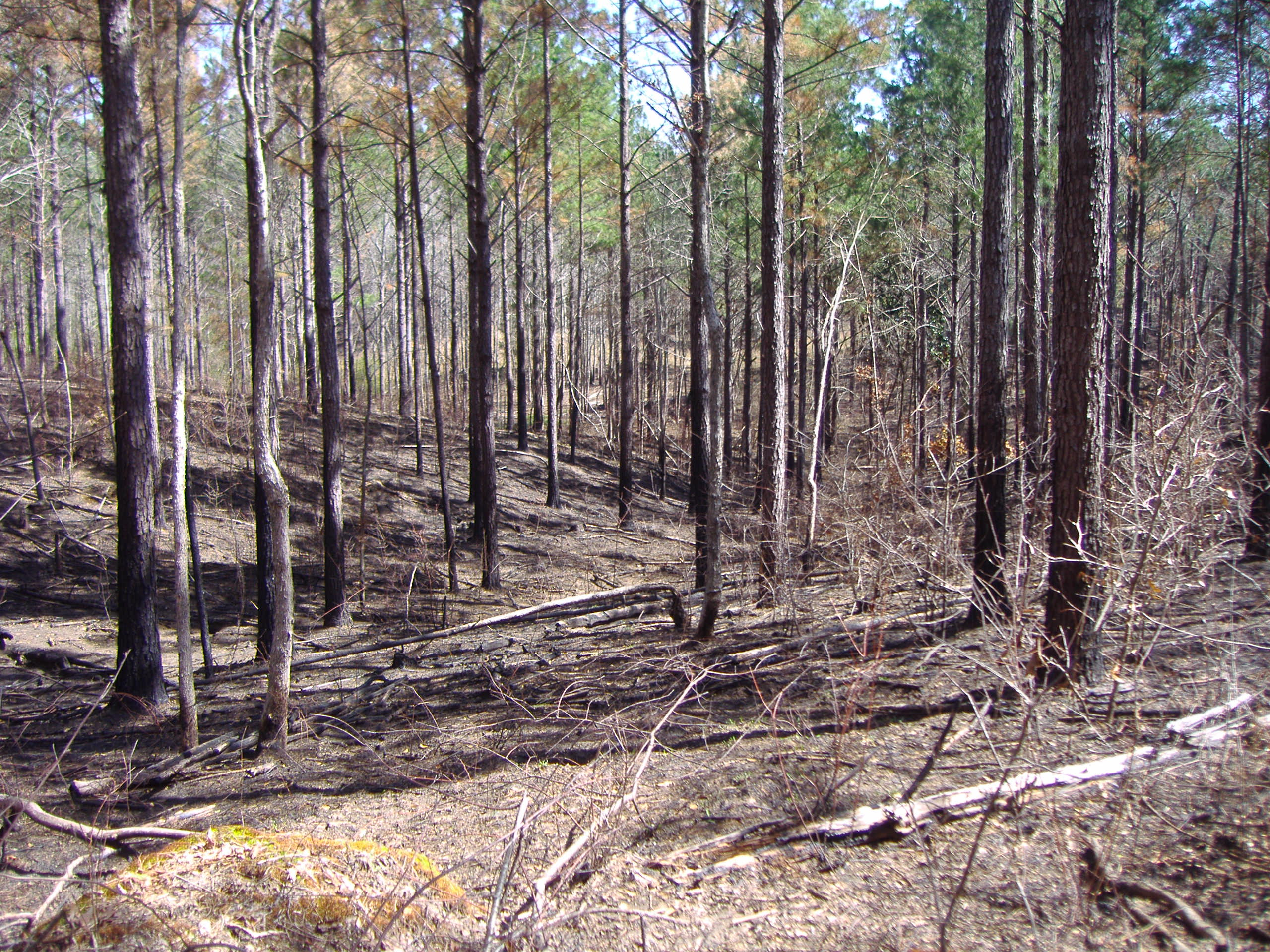 Stand of pine trees after prescribed burning was conducted.